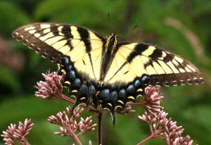 Female Tiger Swallowtails