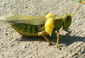 Grasshopper with Fly Larvae