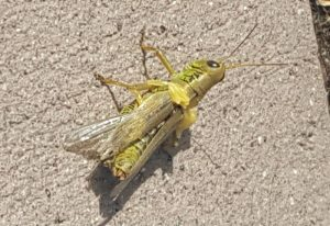 Injured Grasshopper