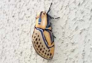 Heiroglyphic Moth