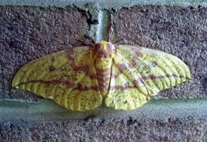 Female Imperial Moth