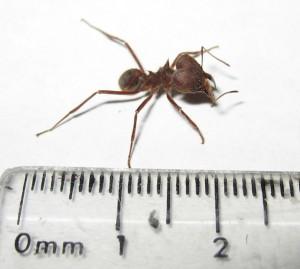 Texas Leaf Cutting Ant