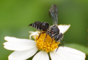Modest Cuckoo Leaf-Cutter Bee