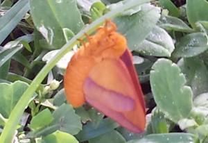 Pink Striped Oakworm Moth