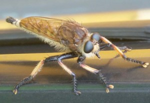 Red Footed Cannibalfly