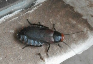 Red Headed Cockroach