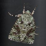 Sallow Moth