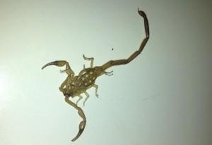 Scorpion:  Centruroides guanensis