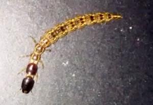 Snakefly Larva