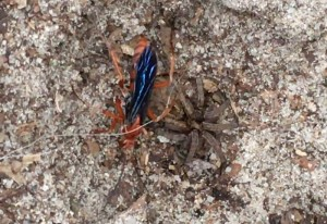 Spider Wasp with Wolf Spider