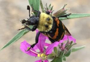 Tomentose Burying Beetle