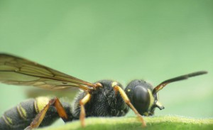 Unknown Wasp with unusual Clypeus