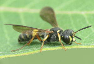 Wasp with unusual Clypeus