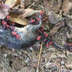 Eastern Boxelder Bug Nymphs eat dead mouse