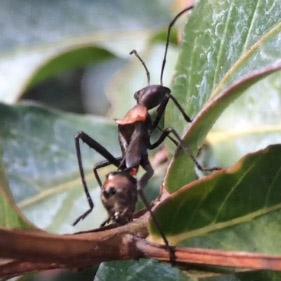 Immature Broadheaded Bug