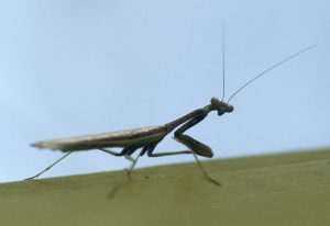 Male California Mantid (shot through window)