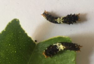 Citrus Swallowtail Caterpillars