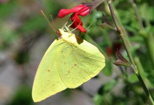 Male Cloudless Sulphur