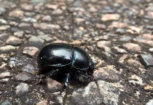 Probably Dung Beetle