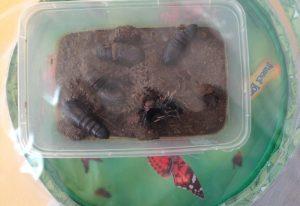 Emperor Moth Pupae