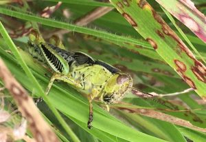 Unknown Grasshopper