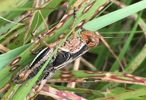 Unknown Grasshopper