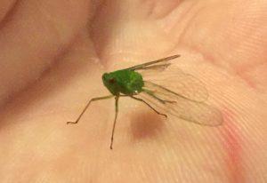 Free-Living Hemipteran: Planthopper or Other???