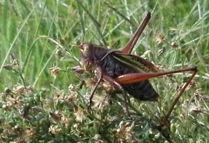 Katydid:  Gampsocleis buergeri