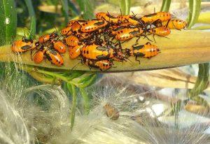 Large Milkweed Bug Nymphs