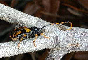Long-Jawed Longhorn Beetle