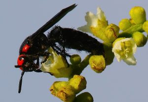 Mammoth Wasp: Scolia species
