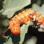 Spiny Oakworm:  Oslar's Oakworm