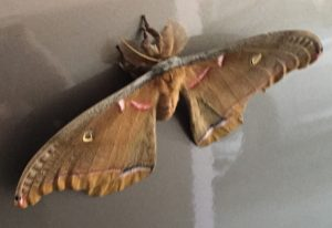 Male Polyphemus Moth