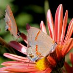 Red Banded Hairstreaks