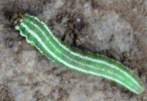 Possibly European Spruce Sawfly