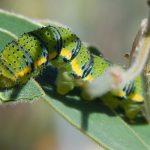 Cloudless Sulphur Caterpillar