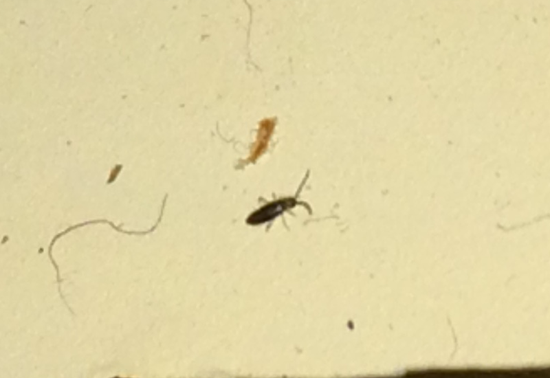 Springtails Archives What S That Bug
