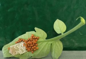 Hatched Stink Bug Eggs