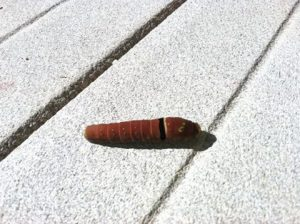 Two-Tailed Swallowtail Caterpillar