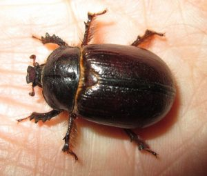 Rarely seen female Rain Beetle