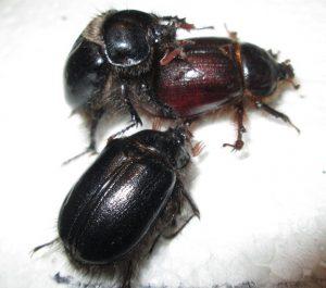 Mating Rain Beetles