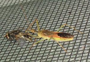 Assassin Bug eats Flesh Fly