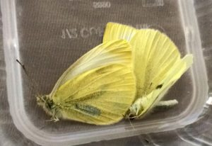 Cabbage Whites