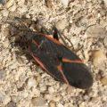 Eastern Boxelder Bug