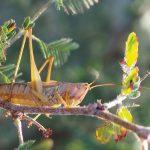 Greater Meadow Katydid