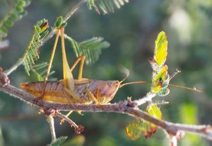 Greater Meadow Katydid