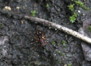 Unknown Harvestman