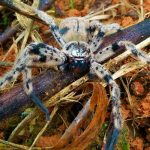 Huntsman Spider from Costa Rica