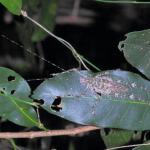 Spiny Rainforest Katydid