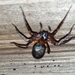 Possibly Female Crevice Weaver Spider